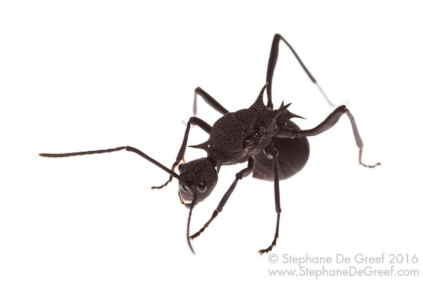 Polyrhachis armata (Formicidae) - Gyne