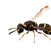Potter wasp (Antepipona sp., Eumeninae)