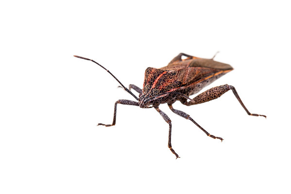 Leaf-footed bug (Physomerus grossipes, Coreidae)