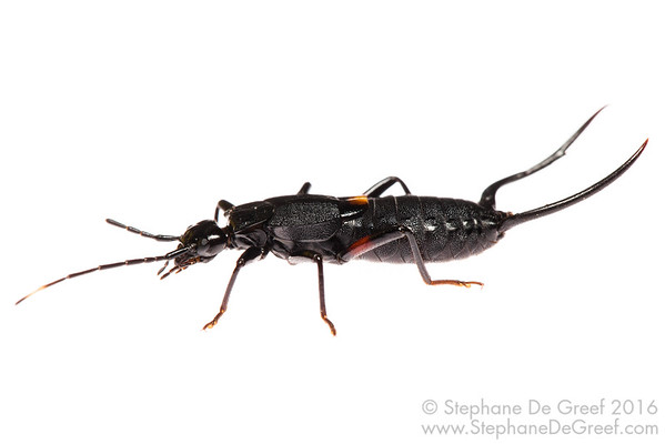 Cambodian earwig (Allodahlia sp) - Male