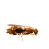 Fruit fly (Hexacinia sp., Tephritidae)