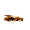Fruit fly (Hexacinia sp., Tephritidae)