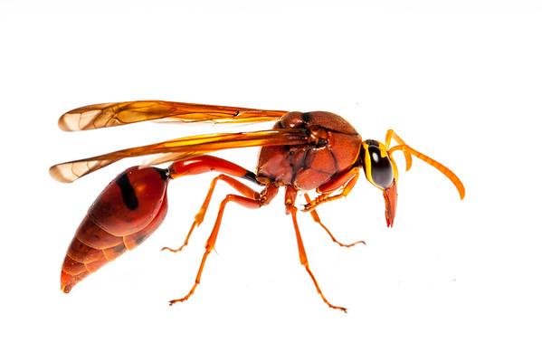 Potter wasp (Delta sp, Eumeninae)