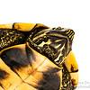 Malayan Snail-eating Turtle (Malayemys subtrijuga, Geoemydidae)