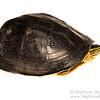 Southeast Asian Box Turtle (Cuora amboinensis kamaroma, Geoemydinae)