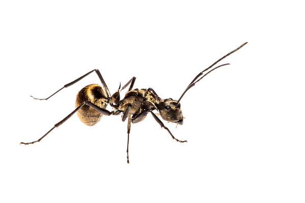 Golden Polyrhachis ant (Polyrhachis sp, Formicidae)