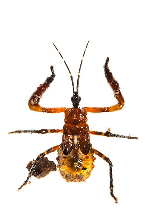 Nymph of Assassin Bug (Hemiptera Reduviidae)