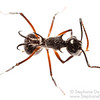 White-haired Polyrhachis ant (Polyrhachis sp, Formicidae)