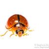Cambodian ladybug (Coleoptera Coccinellidae)