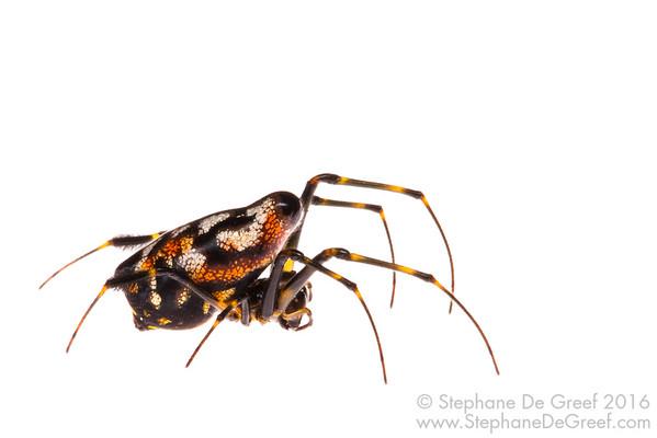 Pear-shaped Opadometa spider (Opadometa sp., Tetragnathidae)