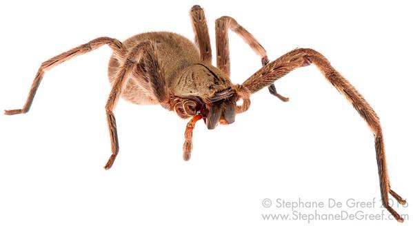Cambodian huntsman spider (Sparassidae)