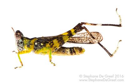 Grasshopper (Erianthus versicolor, Chorotypidae) - Male