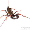 Whip scorpion (Arachnida Thelyphonida)