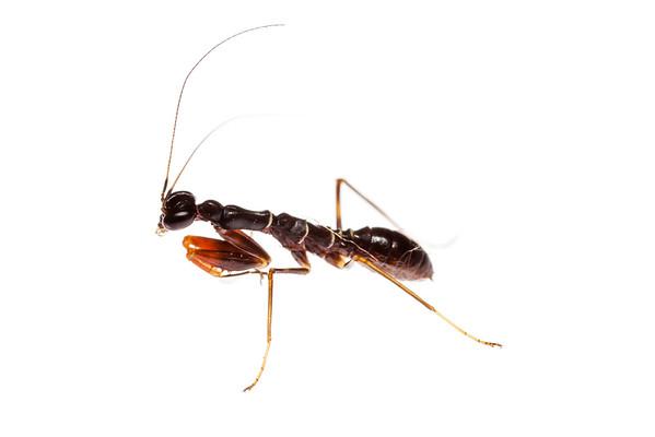 Ant-mimicking mantis (Odontomantis  sp, Hymenopodidae)
