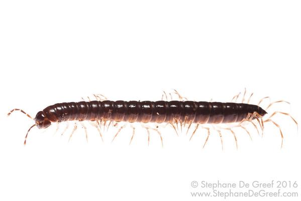 Small Millipede (Myriapoda Diplopoda)