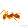 Proatta ant (Myrmicinae)
