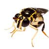 Hoverfly (Graptomyza sp, Syrphidae)