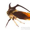 Treehopper (Membracidae)