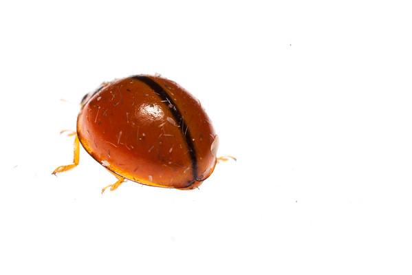 Cambodian ladybug