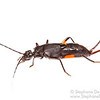 Cambodian earwig (Allodahlia sp) - Female