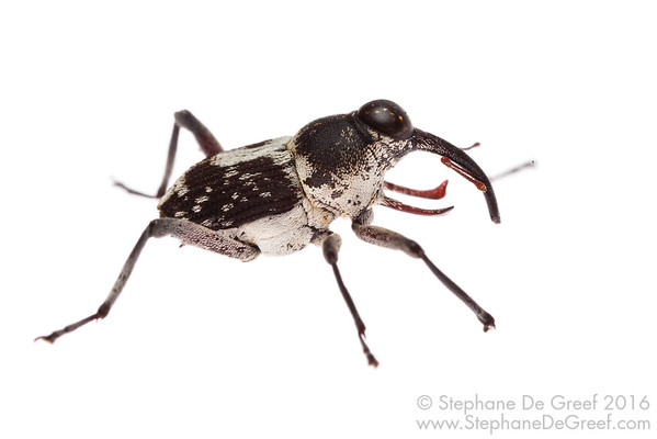 Cambodian Weevil (Coleoptera Curculionidae)