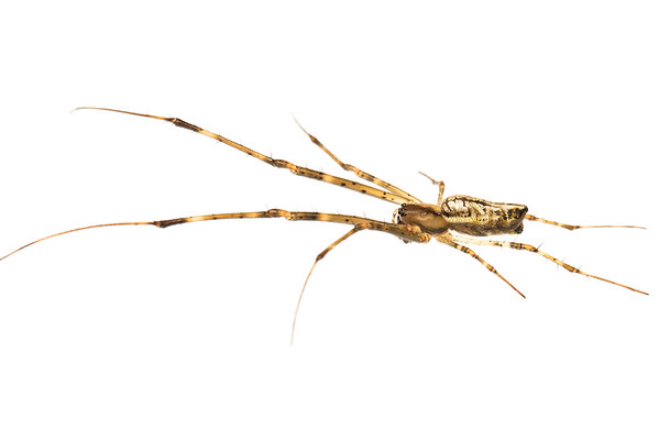 Long-jawed Orb Weaver (Arachnida Tetragnathidae)