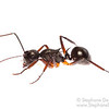 Black Polyrhachis Ant (Polyrhachis sp, Formicidae)