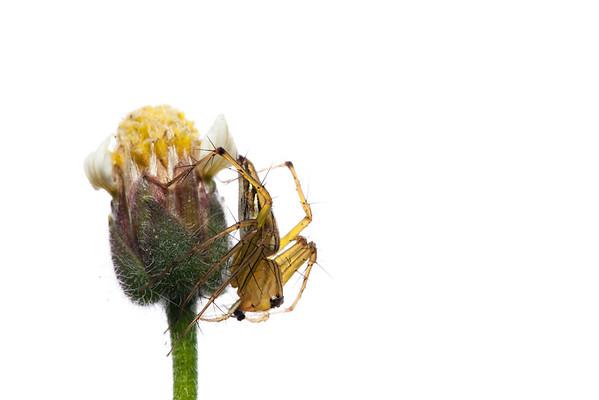 Lynx spider (Oxyopidae)