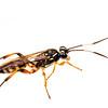Ichneumon wasp (Ichneumonidae Ichneumoninae)