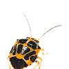 Shield bug (Heteroptera Pentatomidae)