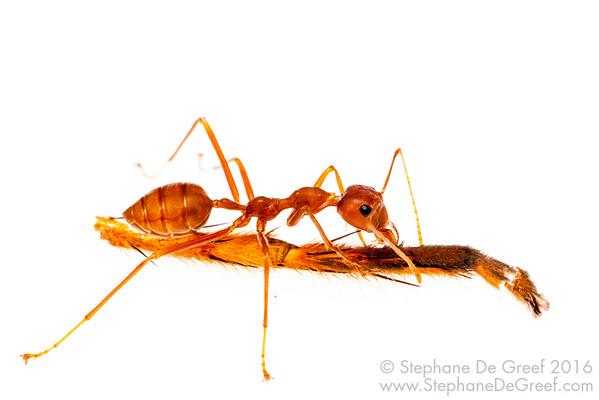 Weaver ant (Oecophylla smaragdina)
