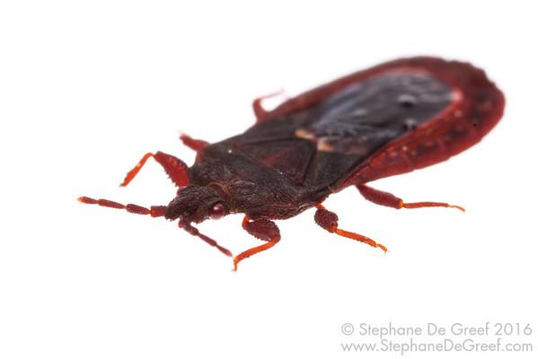 Flat Bug (Hemiptera Aradidae)