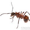 Fish-hook ant (Polyrhachis bihamata)