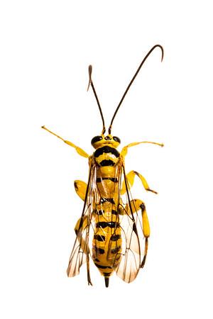 Yellow ichneumon wasp (Xanthopimpla sp., Ichneumonidae Pimplinae)