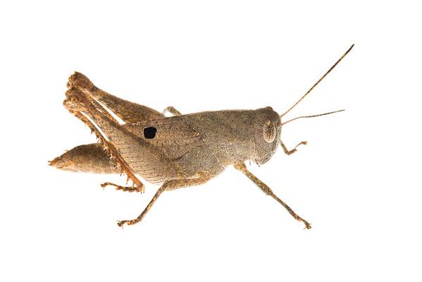 Cambodian grasshopper (Orthoptera Caelifera)