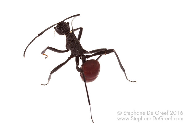 Red Polyrhachis Ant (Polyrhachis sp, Formicidae)