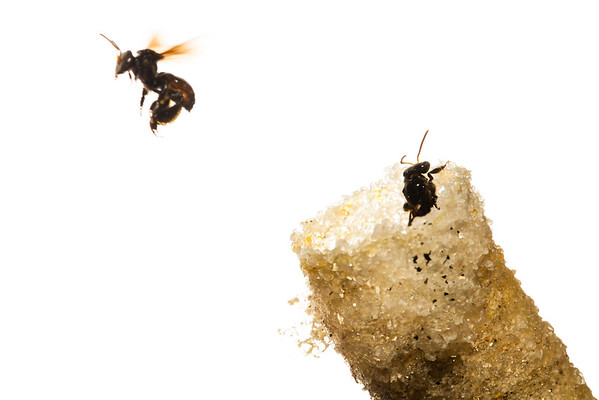 Stingless Bees (Hymenoptera Apidae)