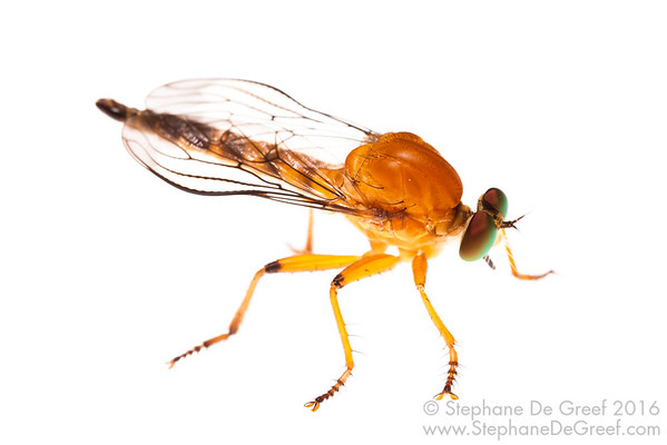 Robber Fly (Diptera Asilidae)