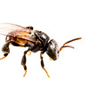 Stingless bee (Tetragonula sp.)