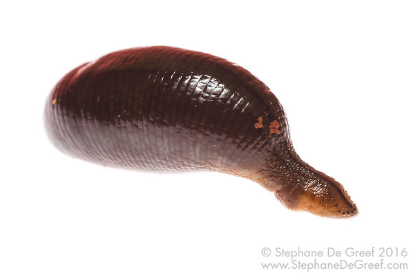 Small Cambodian forest leech (Hirudinae)