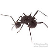 Queen of Polyrhachis armata
