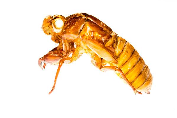 Cidada moult (Hemiptera Cicadidae)