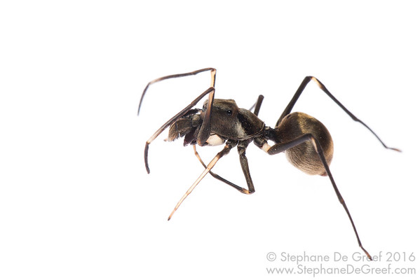 Ant-mimicking jumping spider (Salticidae)