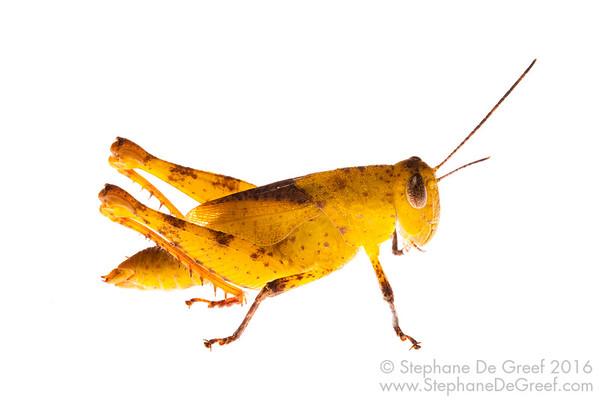 Cambodian Yellow grasshopper (Orthoptera Caelifera)