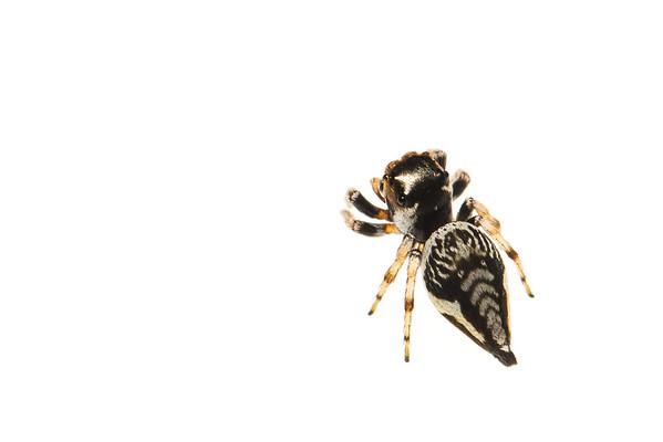 Jumping spider (Arachnida Saliticidae)