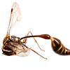 Hover wasp (Vespidae Stenogastrinae)