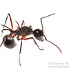 White-haired Polyrhachis