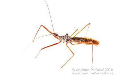Cambodian Assassin bug (Heteroptera Reduviidae)