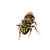 Small carpenter bee (Ceratina (Ceratinidia) sp.)