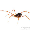 Cambodian Harvestman (Arachnida Opiliones)